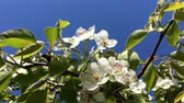 веточка : Branches of pear tree in blossom swaying on the wind against the clear blue sky
