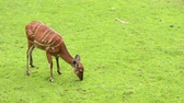 camarões : Western Sitatunga (Tragelaphus spekii gratus). Activity of young Sitatunga female antelope eating grass. Pasture of wild animal on the meadow in zoo. Vídeos