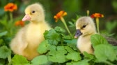 donald duck : Cute domestic gosling walking in green grass outdoor Stock Footage