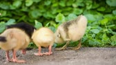 donald duck : Cute domestic gosling and duckling walking in green grass outdoor