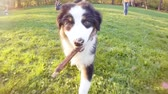 sheepdog : Happy Aussie dog runs on meadow with green grass in summer or spring. Beautiful Australian shepherd puppy 3 months old running with stick towards camera. Cute dog enjoy playing at park outdoors. Stock Footage