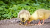 kachňátko : Cute domestic gosling and duckling eating grain, drinking water and walking in green grass, outdoor.