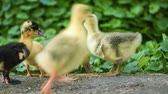 palmado : Cute domestic gosling and duckling eating grain, drinking water and walking in green grass, outdoor.