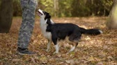 sheepdog : Man training a happy dog in the autumn park. Beautiful Australian shepherd puppy 10 months old enjoy playing in a park an autumn sunny day.