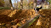 sheepdog : Slow motion - Dog runs across the bridge in the autumn park. Beautiful Australian shepherd puppy 10 months old, enjoy playing in forest an autumn sunny day. High speed camera - shot at 240fps.
