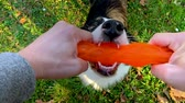 овчарка : Man training a happy dog in the autumn park. Beautiful Australian shepherd puppy 10 months old enjoy playing with toy in a park an autumn sunny day.