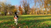 овчарка : Happy Aussie dog walking at forest or park an autumn sunny day. Beautiful Australian shepherd puppy 10 months old with toy. Cute dog enjoy playing at park outdoors.