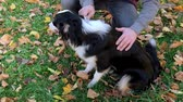 pente : Man combing his dog with a brush. Beautiful Australian shepherd puppy 10 months old outdoors in the autumn park. Animal care -  friendship between humans and pets.
