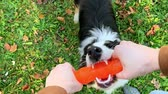 овчарка : Woman training a happy dog in the autumn park. Beautiful Australian shepherd puppy 10 months old enjoy playing with toy in a park an autumn sunny day.
