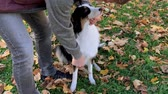 овчарка : Man combing his dog with a brush. Beautiful Australian shepherd puppy 10 months old outdoors in the autumn park. Animal care -  friendship between humans and pets.