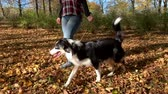овчарка : Woman training a happy dog in the autumn park. Beautiful Australian shepherd puppy 10 months old enjoy playing in a park an autumn sunny day. Стоковые видеозаписи