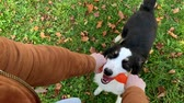 sheepdog : Woman training a happy dog in the autumn park. Beautiful Australian shepherd puppy 10 months old enjoy playing with toy in a park an autumn sunny day.