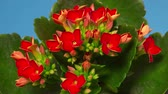 Time-Lapse of Kalanchoe Flower Blooming on Blue Background. Close-up of Opening Red Kalanchoe Flower buds with Green Leaves - macro studio shot.