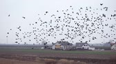 Flock of Crows flying in the countryside. Autumn - field with black birds. Crows fly away against a cloudy sky. Vídeos