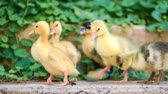 Cute domestic gosling and duckling walking in green grass outdoor