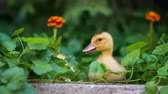 Cute domestic duckling walking in green grass outdoor