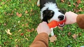 овчарка : Woman training a happy dog in the autumn park. Beautiful Australian shepherd puppy 10 months old autumn sunny day.