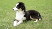 овчарка : Happy Aussie Beautiful Australian shepherd puppy 3 months old - lie on field. Cute dog enjoy at park outdoors.