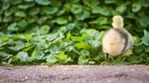 Cute domestic gosling and duckling