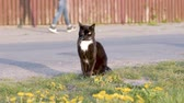 Funny domestic black Cat walking on green grass. Pets playing outdoor adventure. Cat relax near the road. Filmati Stock