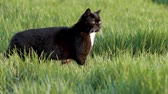 Funny domestic black Cat walking on green grass. Pets playing outdoor adventure in wheat field. Cat relax in green meadow.