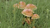 Rain days in forest. Close-up of mushrooms in wet green grass after rain.