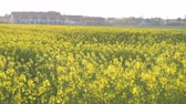 Rapeseed field. Yellow rape oilseed flowers on the field in summer or spring. Blooming canola growing in meadow at sunny day.