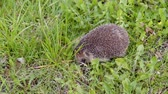 Common cute hedgehog walking on green grass in spring or summer forest during sunset. Young beautiful hedgehog in natural habitat outdoors in the nature.