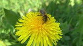 Honey Bee Collecting Pollen of yellow Flower Dandelion. Close up of honeybee flying and gathering flower nectar pollen on sunny spring clear day. Filmati Stock