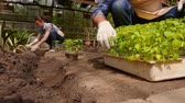 horticultura : Man and woman gardeners are sorting the seedlings before planting in open ground in greenhouse.
