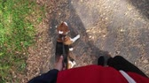 гончая : Girl walking with a dog Beagle in the autumn Park