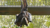 Fruit bat with the baby pressed to its body hanging upside down and looking at camera in zoo