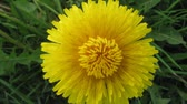field : Flower dandelion opening blossom - timelapse video Stock Footage