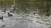 feeding ducks and carps at a pond Stock Footage