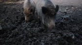 two wild boars digging in mud