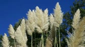 sky : reeds waving in the blue sky