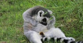 catta : Ring-tailed lemur resting Stock Footage