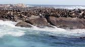 сидящий : Thousands of seals sunning on Seal Island near the south western tip of South Africa