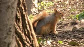 nibbling : Squirrel Eating Nuts Stock Footage