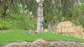 catta : Ring-tailed lemur resting near tree