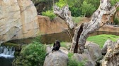 agitated : Young Chimpanzee family