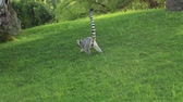 catta : Ring-tailed lemur walking