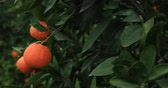 мандарин : Mandarin tree branch with  orange fruits Стоковые видеозаписи