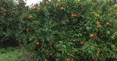 мандарин : Tangerine fruit trees orchard