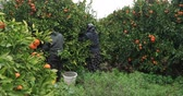 мандарин : Woman and man picking tangerine fruit in garden Стоковые видеозаписи