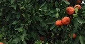 мандарин : Mandarin tree branch with many orange fruits