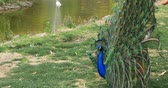 plumagem : Beautiful peacocks flirting in the park