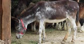vertebre : Side view of a beautiful donkey feeding wih hay in barn at the farm Vidéos Libres De Droits