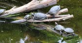 tartaruga : Turtles family family sunbathing