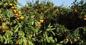 mandarijnen : Mandarin trees with fruits on plantation Stockvideo